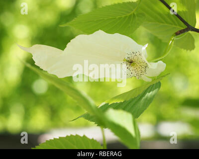 Dove tree, handkerchief tree, davidia involucrata, davidia seeds, ghost tree - Stock Photo
