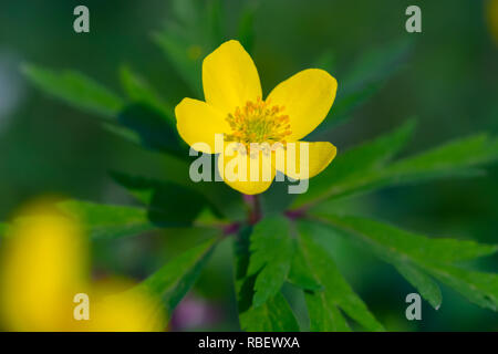 Single flower of yellow wood anemone (Anemone ranunculoides). Close up detail of spring yellow flower blooming in a sunny day of April. - Stock Photo