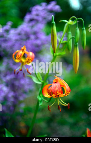 lilium pardalinum,leopard lily,panther lily,red,orange,spot,spotted,thalictrum delavayi hinckley,meadow rue,lilac flowers,contrast,contrasting combina - Stock Photo