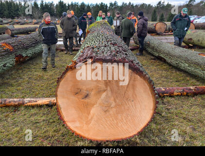 Chorin, Germany. 10th Jan, 2019. Employees of the Forst Brandenburg state enterprise tax a more than 200-year-old oak trunk on the valuable timber storage site near the Chorin monastery. On 16 January 2018, the Forst Brandenburg State Office invites you to submit wood. Since this year there are only hardwood logs left on the square. For hardwood, it's the 29th submission. In the Landeswaldoberförsterei Chorin, valuable timber and sawn timber from the state, municipal and private forests is offered and sold to customers in Germany and abroad by written bid, with the highest bidder. Credit: dpa  - Stock Photo