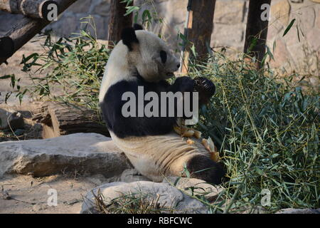Beijing, Beijing, China. 10th Jan, 2019. Beijing, CHINA-A panda eating bamboos and carrots at Beijing Zoo. Credit: SIPA Asia/ZUMA Wire/Alamy Live News - Stock Photo