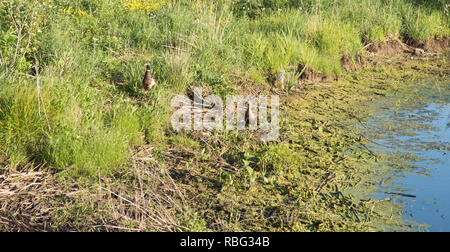 Male and female mallard ducks at Whalon Lake with wetland flora in Bolingbrook, Illinois - Stock Photo