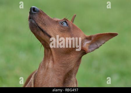 Cute red puppy of miniature pinscher close up. Pet animals. - Stock Photo