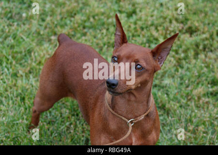 Cute red puppy of miniature pinscher is standing in the green grass. Pet animals. - Stock Photo