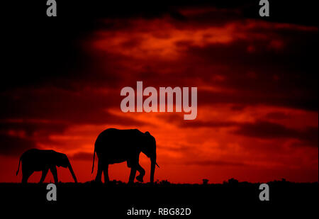 The Elephants. / DUSK TILL DAWN images show Africa's rich wildlife silhouetted during the beginning and the end of the day when the light reaches its perfect state of illumination. A hippopotamus is shown lurking in the water, whilst other stunning photographs give an intimate glimpse of lions, giraffes, kudu's, flamingo's, elephants, leopards, rhino's and zebras in this beautiful silhouetted technique. Evan a swarm of bats can be seen flying across the African sunset. Other dramatic photos from across southern and eastern Africa show an injured wildebeest evading a fire that has swept across  - Stock Photo