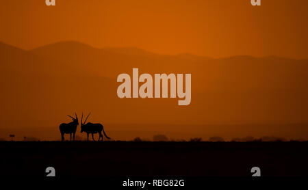 A pair of Oryx. / DUSK TILL DAWN images show Africa's rich wildlife silhouetted during the beginning and the end of the day when the light reaches its perfect state of illumination. A hippopotamus is shown lurking in the water, whilst other stunning photographs give an intimate glimpse of lions, giraffes, kudu's, flamingo's, elephants, leopards, rhino's and zebras in this beautiful silhouetted technique. Evan a swarm of bats can be seen flying across the African sunset. Other dramatic photos from across southern and eastern Africa show an injured wildebeest evading a fire that has swept across - Stock Photo
