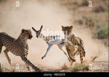 INCREDIBLE images showcase the moment a skilled photographer captured a dramatic cheetah kill whilst on safari in South Africa. The action-packed photographs were taken just as the cheetahs descended from the sand dunes of the Kalahari Transfrontier Park. The up-close pictures show the cheetahs hungrily chasing their pray, a Springbok Fawn, as it darts to avoid capture. Bridgena Barnard / www.mediadrumworld.com - Stock Photo