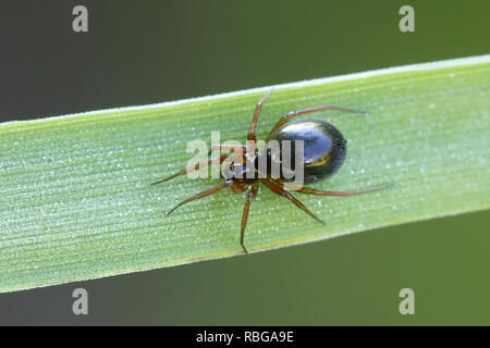 Linyphiidae, commonly called sheet weavers or money spiders - Stock Photo