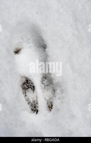 Footprint of a wild rabbit in winter in snow - Stock Photo