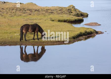 Islandpferd, Isländer, Islandpony, Island-Pferd, Isländer, Island-Pony, Pony, Ponies, Wasserspiegelung, Spiegelung, auf Island, Icelandic horse, Icela - Stock Photo