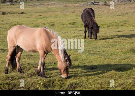 Islandpferd, Isländer, Islandpony, Island-Pferd, Isländer, Island-Pony, Pony, Ponies, auf Island, Icelandic horse, Iceland, L'islandais, Islandais - Stock Photo