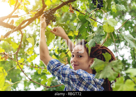 The girl winemaker harvesting clusters of Merlot red grapes in the vineyard for wine production - Stock Photo