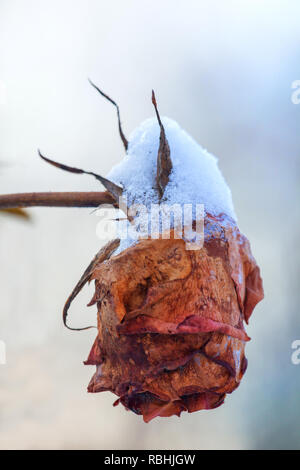 Beautiful rose covered with snow. Snow lies on a frozen rose. A big red rose covered with snow. - Stock Photo