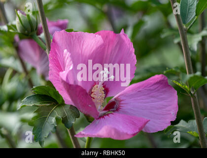 Color outdoor natural floral close up image of a pink purple hibiscus blossom on a bush with green leaves taken on a sunny day in summer or spring - Stock Photo
