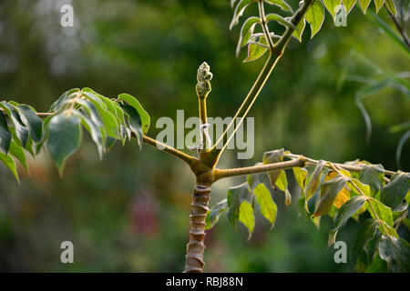 Aralia vietnamensis,leaves,foliage,tree,leathery foliage,hairy leaves,RM Floral - Stock Photo