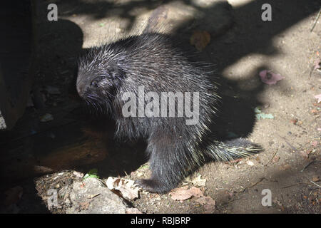 Large wild porcupine standing on its kind legs - Stock Photo