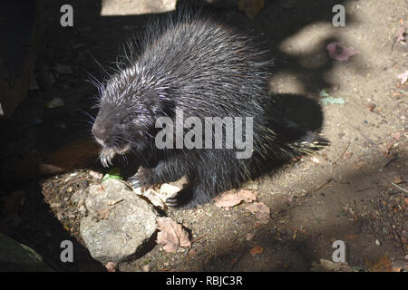 Wild porcupine standing on its hind legs showing its teeth - Stock Photo