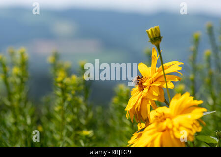 Outdoor floral macro of yellow blooming false sunflower/heliopsis sunflowers with a bee on blurred rural landscape background on a sunny bright summer - Stock Photo