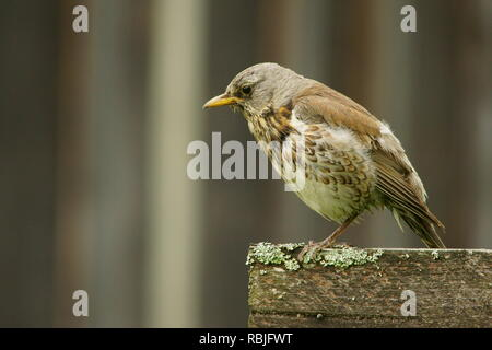 Fieldfare, Turdus pilaris - Stock Photo