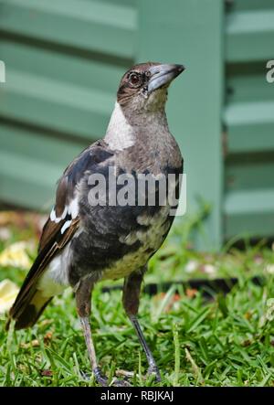 Australian Magpie - Stock Photo