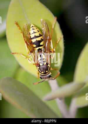 European wasp closeup in a portugese meadow - Stock Photo