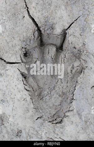 Eurasian beaver / European beaver (Castor fiber) close up of footprints in the mud of lake bank / shore - Stock Photo
