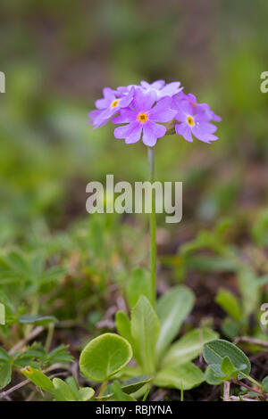 Bird's-eye primrose (Primula farinosa), Hohe Tauern National Park, Carinthia, Austria - Stock Photo
