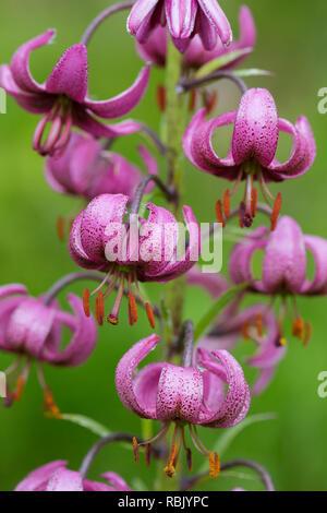 Martagon lily / Turk's cap lily (Lilium martagon) in flower, Hohe Tauern National Park, Carinthia, Austria - Stock Photo