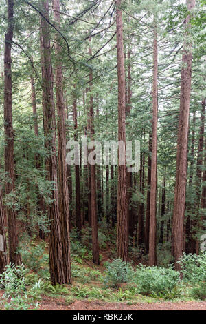 Young coast redwood trees (Sequoia sempervirens) grow tall along the Redwood Trail in Muir Woods National Monument. - Stock Photo