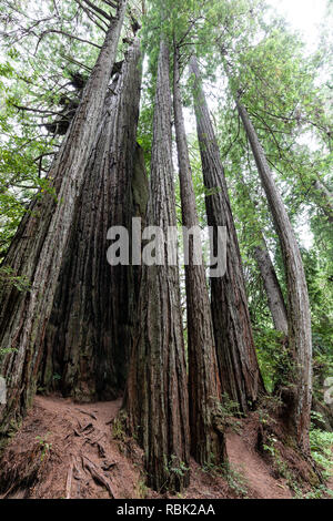 A young family of coast redwood trees (Sequoia sempervirens) grows closely together in Prairie Creek Redwoods State Park, California. - Stock Photo