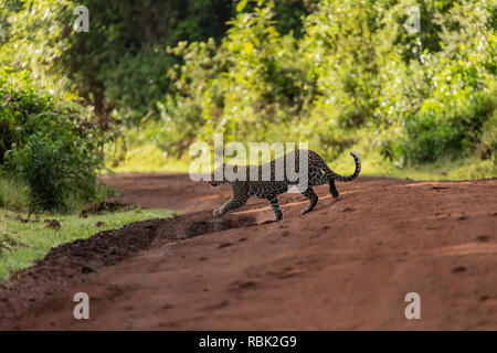Leopard (Panthera pardus) female crossing a road in Ngorongoro Crater, Tanzania - Stock Photo