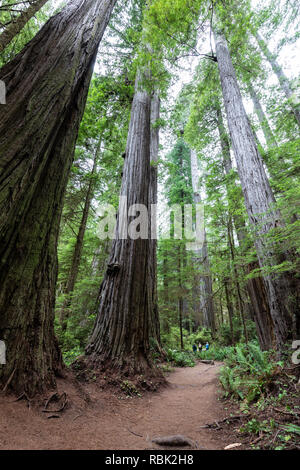Hikers are dwarfed by giant coast redwood trees (Sequoia sempervirens) while hiking along the Boy Scout Tree Trail in Jedediah Redwoods State Park. - Stock Photo
