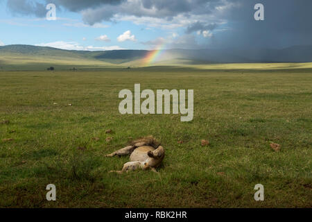 African Lion (Panthera leo) male sleeping with a rainbow behind him in Ngorongoro Crater, Tanzania - Stock Photo