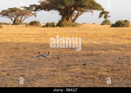 Cheetah (Acinonyx jubatus) female resting and yawning on the savannah in Amboseli National Park, Kenya - Stock Photo