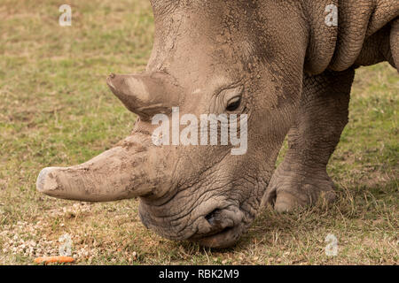 Northern White Rhinoceros (Ceratotherium simum cottoni) female feeding in the Endangered Species Enclosure, Ol Pejeta Conservancy, Kenya. One of the l - Stock Photo