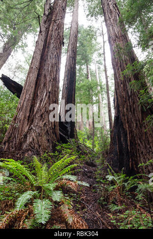 A grove of Coast Redwood trees (Sequoia sempervirens) grows along the Ben Johnson Trail in Muir Woods National Monumment. - Stock Photo