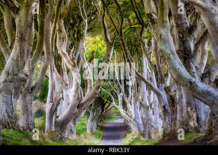 The Dark Hedges in Northern Ireland where scenes from Game of Thrones was filmed. - Stock Photo