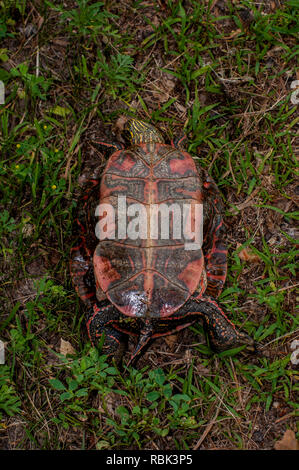 Vadnais Heights, Minnesota. Vadnais Lake Regional Park.  Western Painted Turtle, Chrysemys picta bellii, laying on its back showing the plastron. - Stock Photo