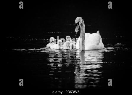 Mute Swan (Cygnus olor) with five young swans (Cygnets) on sunny Spring day in calm water, black and white - Stock Photo