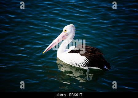 Wild Australian pelican, Pelecanus conspicillatus, swimming at Port Fairy, Victoria Australia - Stock Photo