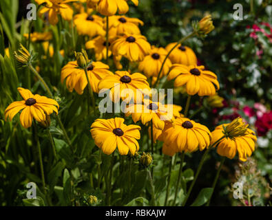 Colorrful outdoor floral macro image of a blooming orange coneflowers / sullivant's coneflower field taken on a sunny bright summer day - Stock Photo