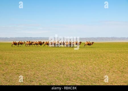 Herd of wild camels strolling through the endless plains in Gobi Desert during summer (Gobi Desert, Mongolia, Asia) - Stock Photo