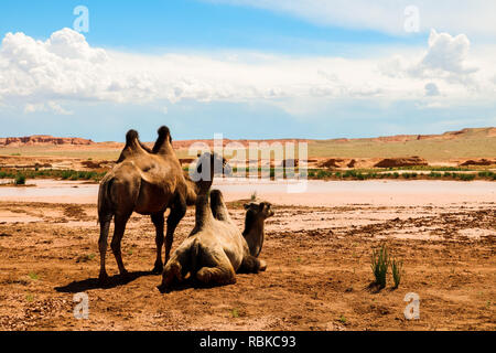Two wild camels near the Flaming Cliffs (Bajandsag) in the Gobi Desert on a cloudy summer day (Bajandsag, Mongolia, Asia) Stock Photo