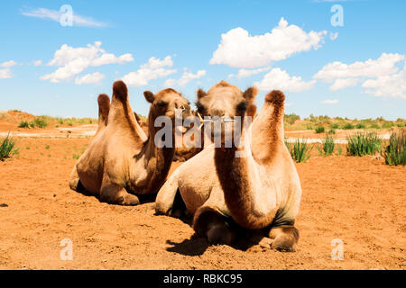 Two wild camels facing the camera near the Flaming Cliffs (Bajandsag) in the Gobi Desert on a cloudy summer day (Bajandsag, Mongolia, Asia) Stock Photo