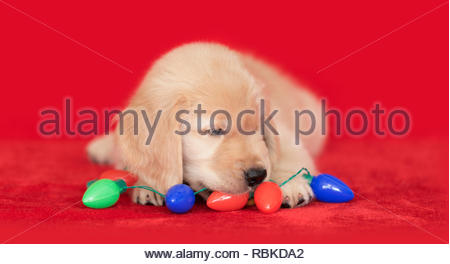 Golden Retriever puppy dog laying on red tree skirt chewing on light bulb christmas garland decoration. - Stock Photo