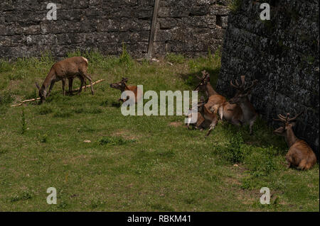 Jaca, Huesca Province, Spain: red deer (Cervus elaphus) resting & grazing in moat of Citadel of Jaca / Castle of St. Peter begun in 1592 by Philip II. - Stock Photo