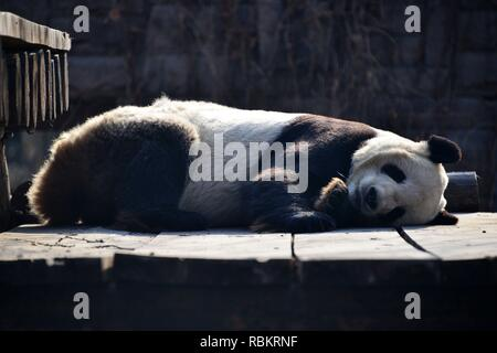 Beijing, China. 10th Jan, 2019. Pandas sleep with funny poses in room to avoid cold in Beijing, China on 10 January 2019.(Photo by TPG/CNS) Credit: TopPhoto/Alamy Live News - Stock Photo