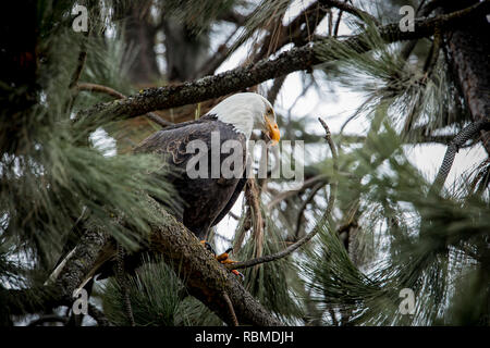 A majestic american bald eagle is perched on a branch in north Idaho. - Stock Photo