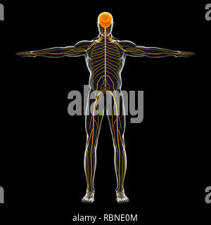 Human Nervous System Illustration - Stock Photo