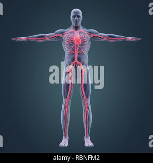 Human Circulatory System Illustration - Stock Photo